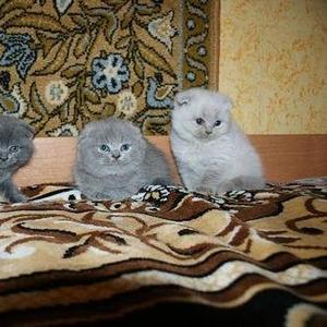 Продам британских и шотландских вислоухих котят
